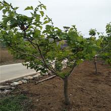 8公分山楂树产量多少斤8公分山楂多少产值