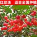 供应云南1年樱桃苗1公分樱桃苗品种介绍