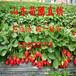 供应广州梅州草莓苗红颜草莓苗价格