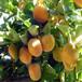 各种绿化果树苗出售基地