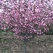 供应北京房山8公分樱花树红色樱花树