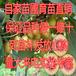 0.5公分0.8公分猕猴桃苗高度40公分猕猴桃苗价格
