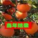 1米高柿子苗今年0.8公分以上柿子苗价格