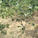 山楂树几年能结果山楂树苗一亩栽几棵山楂树苗产量