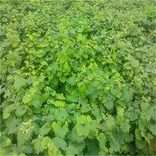 葡萄苗一亩栽多少棵怎样种植葡萄苗葡萄苗管理技术