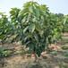 1.5公分樱桃苗价1.5公分樱桃苗多少钱一棵