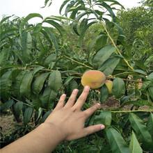 秋彤桃树苗1、2、3公分桃树苗哪里便宜