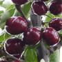 樱桃苗哪里的根系好什么樱桃苗品种好图片