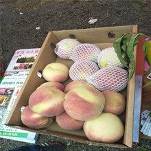 1公分2公分桃苗哪里有早熟品种桃树苗