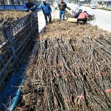 梨树苗种植技术梨树占地苗多少钱一棵