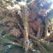 4公分5公分李子树价格3公分李子苗李子的栽培管理技术