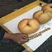 山东济南占地梨树苗1公分梨苗哪里有