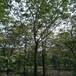 山东滨州柿子树苗哪里卖1公分、5公分3公分柿子树苗