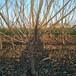 山东德州1公分樱桃苗基地3、5公分结果樱桃树批发