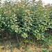 內蒙古赤峰1年蘋果苗大棚矮化蘋果苗3公分蘋果樹