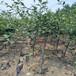 脱毒矮化砧木苹果苗红富士苹果树苗