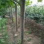 5公分法桐树哪里有5公分速生法桐苗木基地图片