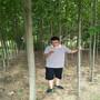 哪里有7公分法桐树7公分法桐正常价格多少钱图片