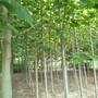 10公分法桐树多少钱法桐树苗出售基地图片