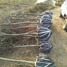 幼苗截根主要是截断苗木的主根1公分核桃苗毛细根修剪