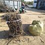 盐碱地果树苗木栽植技术要点0.8公分枣树苗价格图片