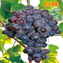 早熟葡萄卖价高不愁销哪里有早熟葡萄苗