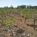 重慶南岸梨樹苗1公分玉露大香梨樹苗