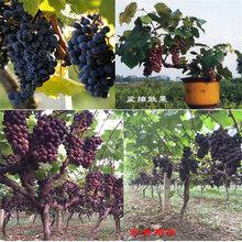 葡萄硬枝嫁接1年嫁接葡萄苗哪里有