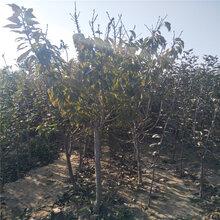 5公分六公分樱桃树矮化樱桃树苗基地