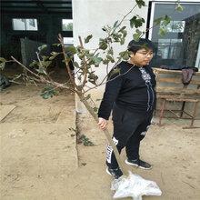 五公分山楂树裸根价3年山楂树多少钱