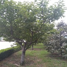 早熟樱桃苗4、5公分樱桃苗价格
