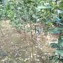 2公分梨树哪里有二公分梨苗价图片