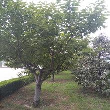 1公分3公分樱桃苗哪里有哪里有1公分3公分樱桃树苗