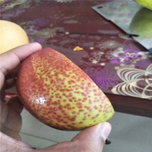 哪里有2公分5公分梨树苗2公分5公分梨苗哪里有