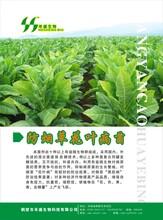 生物有机肥菌剂——防烟草花叶病菌剂抗重茬
