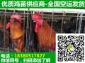 甘肃康县乌皮红冠土鸡苗最新价格,乌皮红冠土鸡苗走势图片