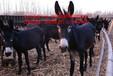 肉驴育肥都需要吃哪些饲料