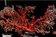 深圳的红珊瑚拍卖价格走势图
