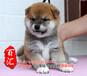 佛山纯种柴犬好不好养佛山什么地方有卖纯种柴犬宠物狗
