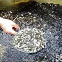 出售花白鰱鯉魚鯽魚草魚錦鯉紅草等魚苗圖片