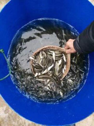 河北出售鲈鱼鱼苗