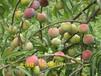 理县优质半边红李子苗,优质半边红李子苗产量,嫁接半边红李子苗效益