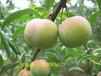 阿坝李子苗批发,阿坝的李子产量,李子苗的市场价格李子种植技术