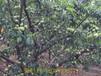 贵州毕节蜂糖李在哪里买毕节哪里有卖蜂糖李子苗的蜂糖李蜂糖李基地
