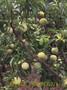 贵州蜂糖李子苗毕节蜂糖李蜂糖李介绍蜂糖李营养价值图片