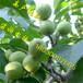 川早2号核桃苗种植方法,川早2号核桃苗免费提供种植技