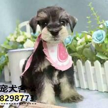 佛山哪里有卖雪纳瑞雪纳瑞犬哪里有卖包健康品质图片