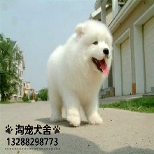 出售高贵优雅宠物狗萨摩耶犬雪白色微笑天使小萨摩图片