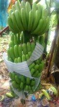 广西香蕉批发