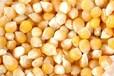 求购大量玉米小麦麸皮次粉
